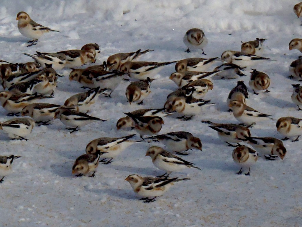 snow-buntings-lanark-jan-2017
