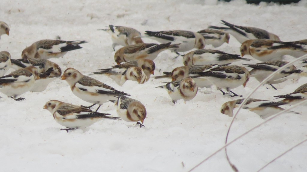 Snow Buntings, Lanark, Jan 3, 2016. photo Lise Balthazar