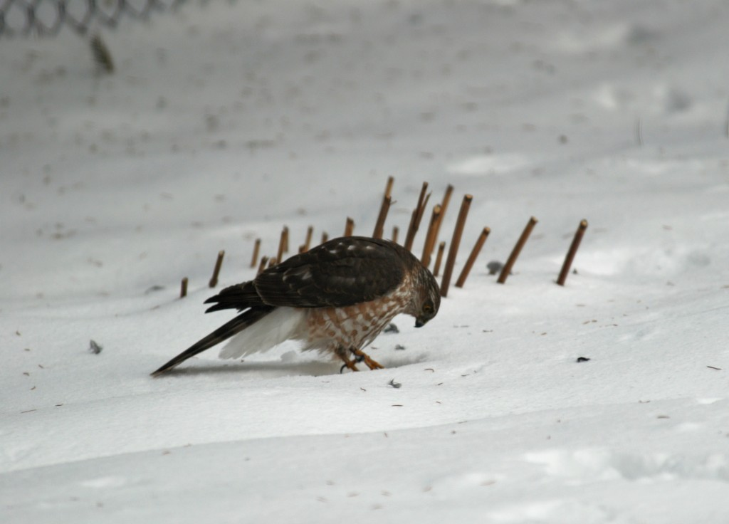 Sharp-shinned hawk. photo Susan Wilkes
