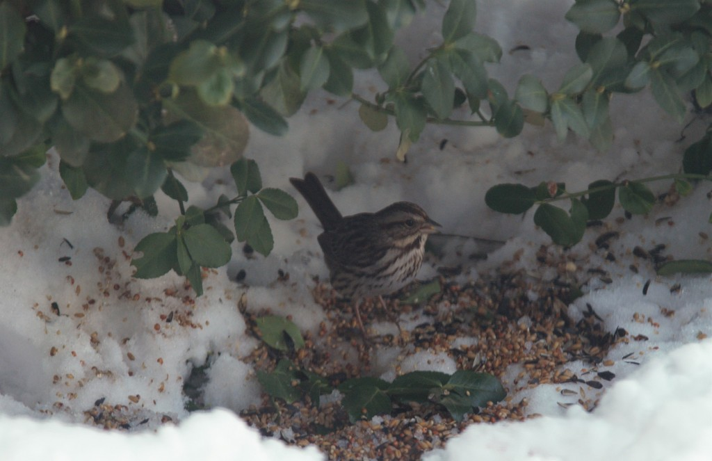 Song Sparrow. photo Susan Wilkes