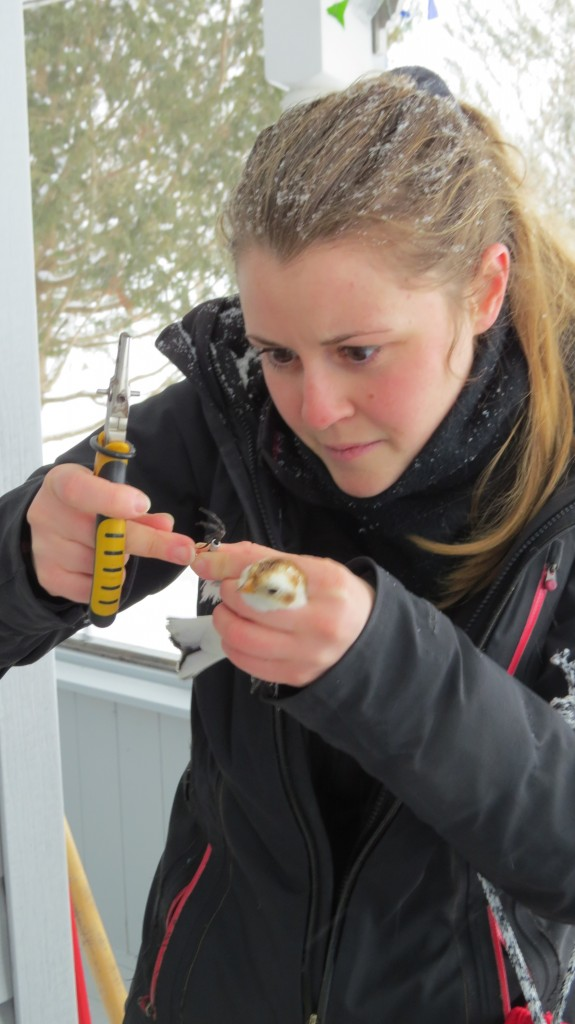 Snow bunting banding 2