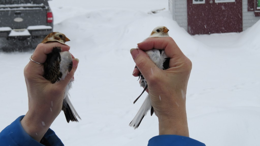 Snow bunting banding release 2