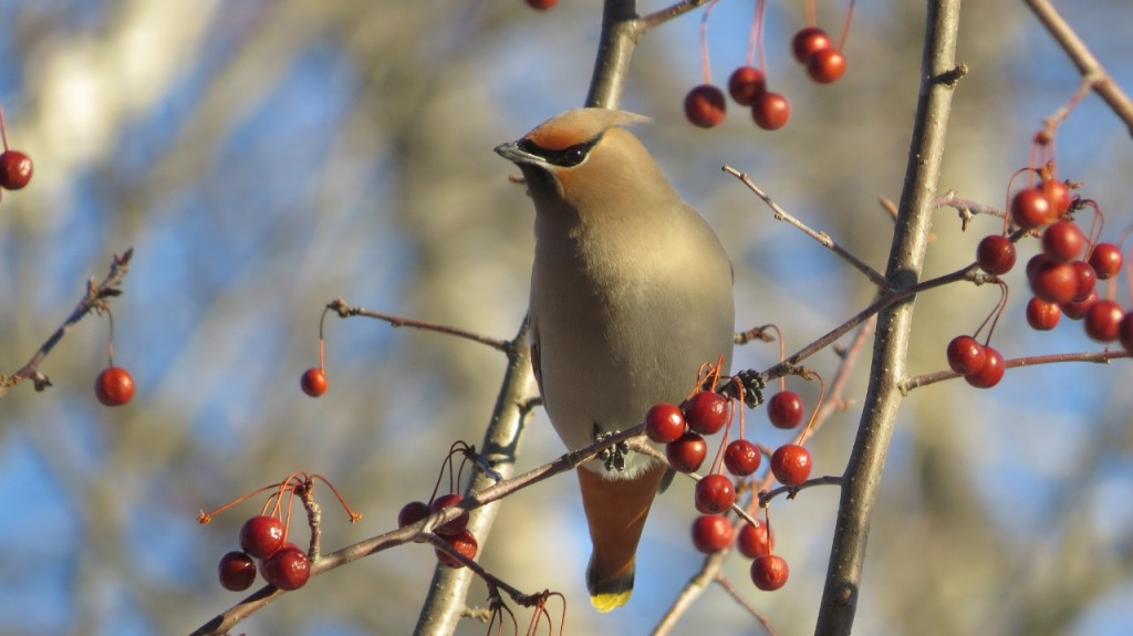 BOHEMIAN WAXWING MARCH 19 2017 (1280x719)