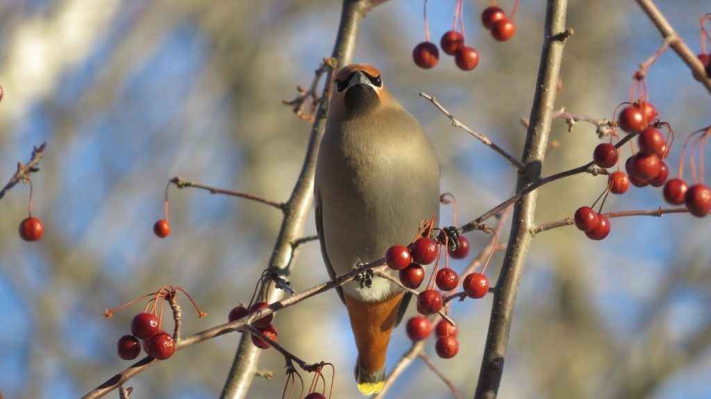 BOHEMIAN WAXWING MARCH 19 2017 (2) (1280x719)