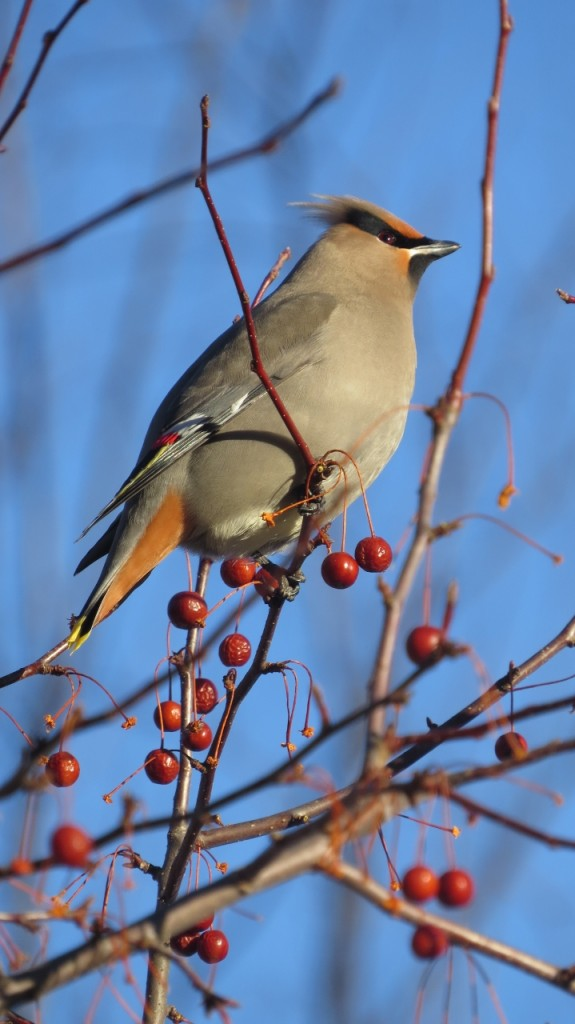 BOHEMIAN WAXWING MARCH 19 2017 (5) (719x1280)
