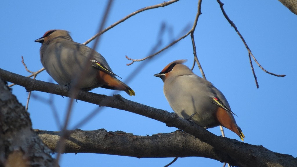 BOHEMIAN WAXWINGS MARCH 19 2017 (1280x719)
