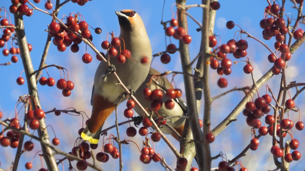 BOHEMIAN WAXWINGS MARCH 19 2017 (7) (1280x719)
