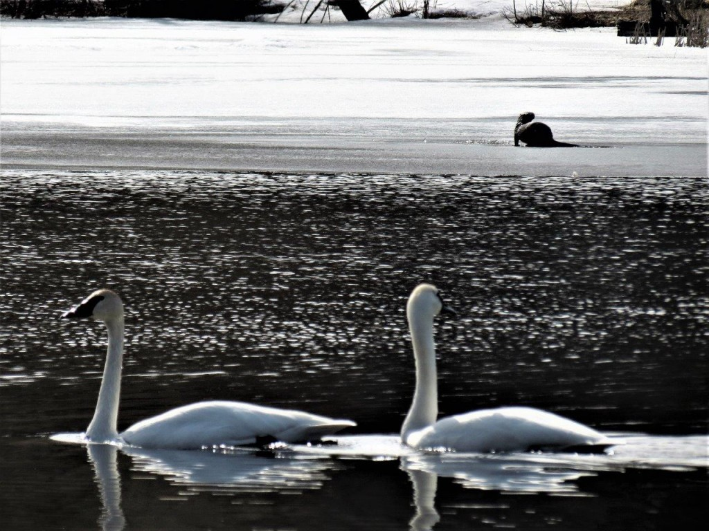 Trumpeter Swans, otter. photos Howard Robinson