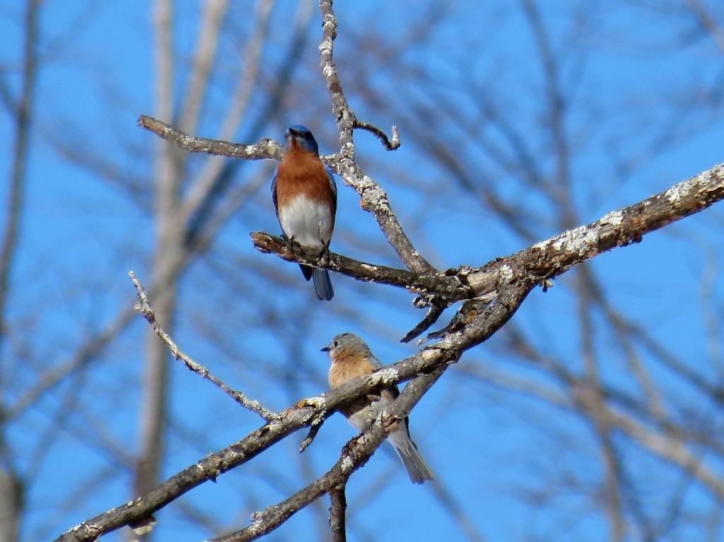The Bluebird couple. photo Howard Robinson