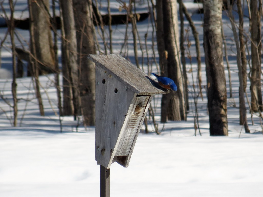 What do you think dear? says Mr. Bluebird, checking out an MVFN Bluebird box. photo Howard Robinson