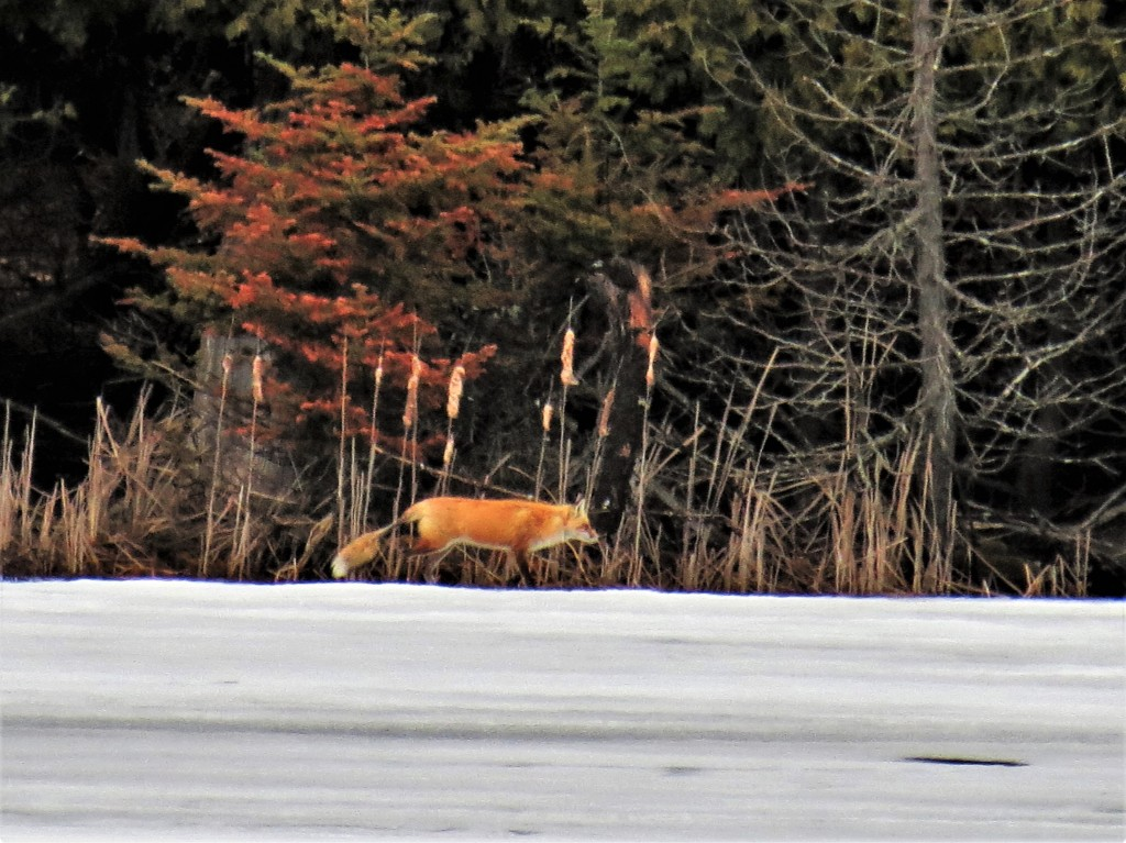 Red Fox, Clayton Lake. photo Howard Robinson