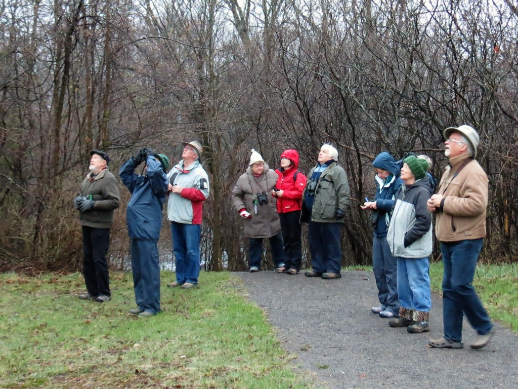 Looking for a Ruby-crowned kinglet. photo Howard Robinson