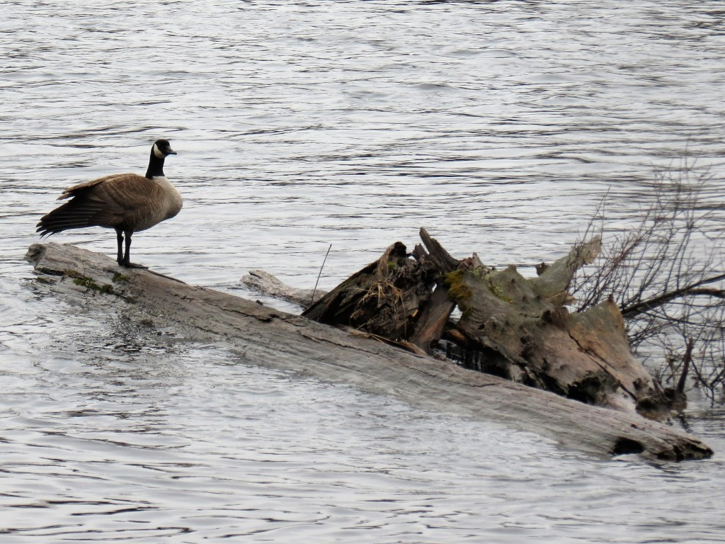 "Canada Goose ""log driver"". photo Howard Robinson"