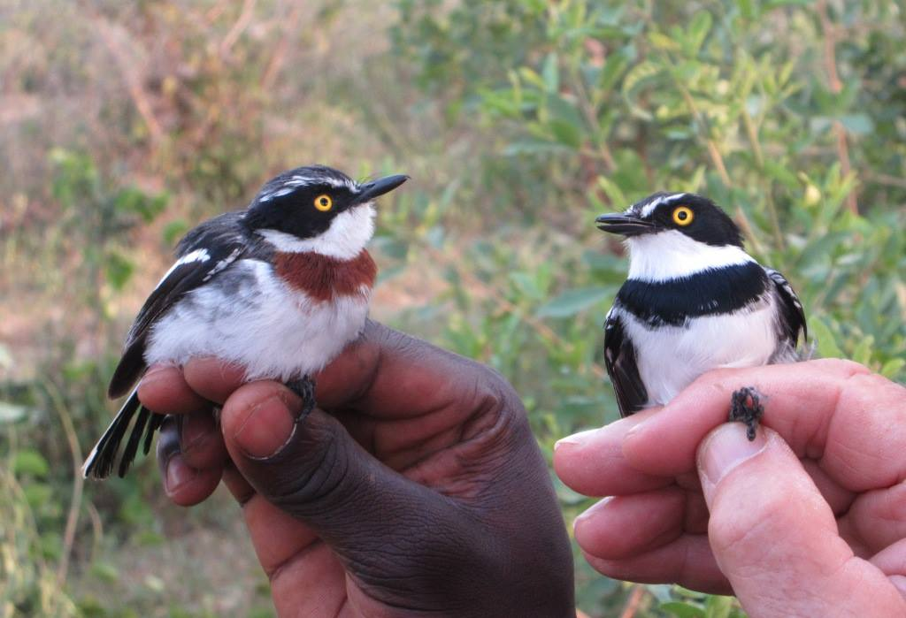 Bird banding activity in Matangwe, Kenya: Black-headed Batis male (left) and female. photo Brian Ochiago