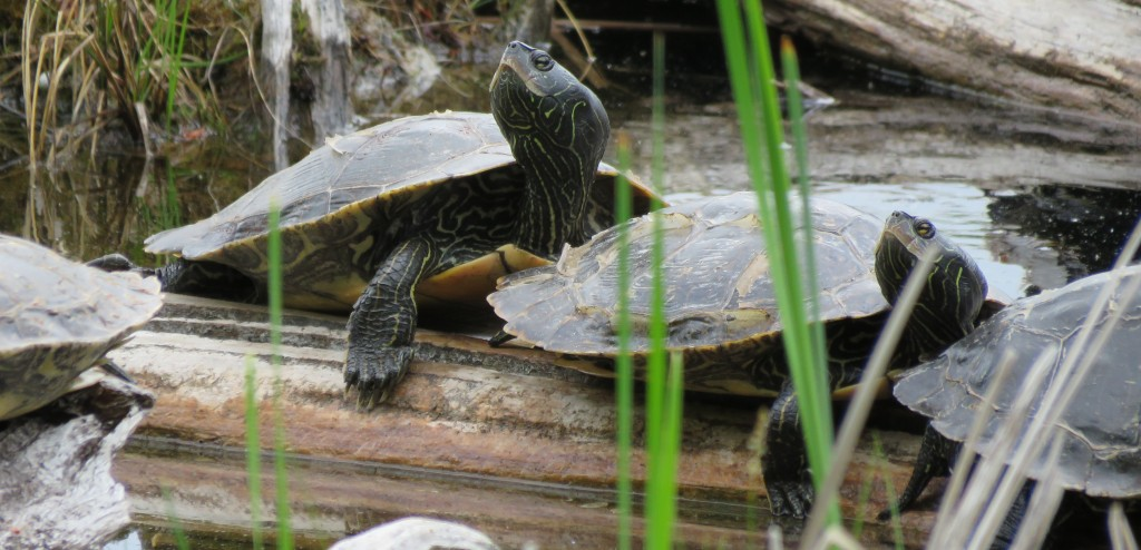 Map turtles. photo Pauline Donaldson