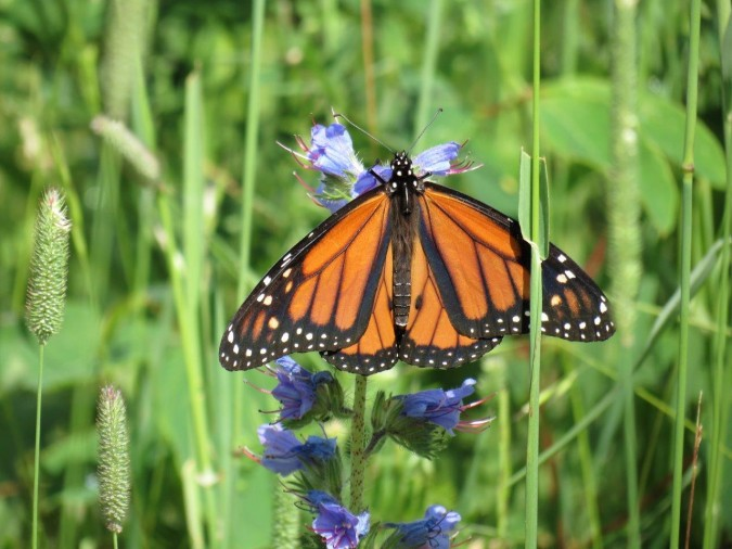 Male monarch butterfly feeding at High Lonesome