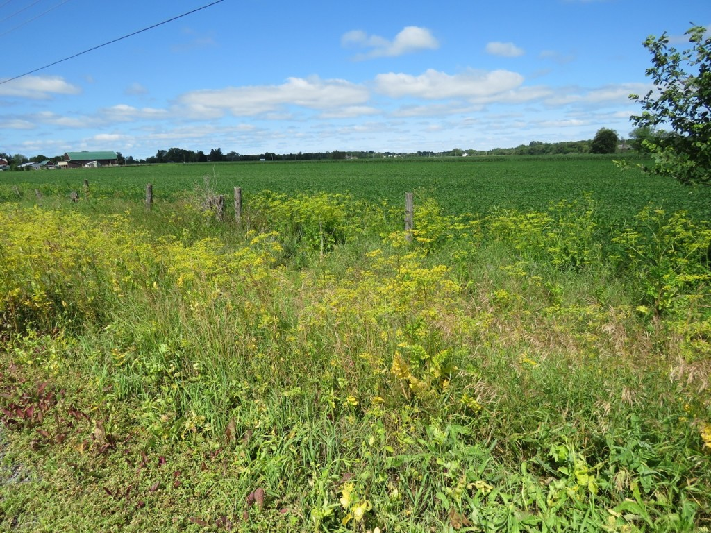 Wild Parsnip along roadside post-spraying, July 2016, March Road. Unsprayed plants are visible at fence line.