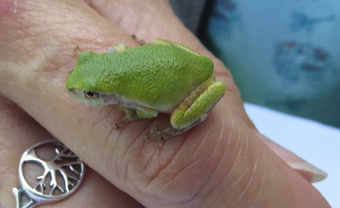 Gray Treefrog 2 photo N. Capitanio