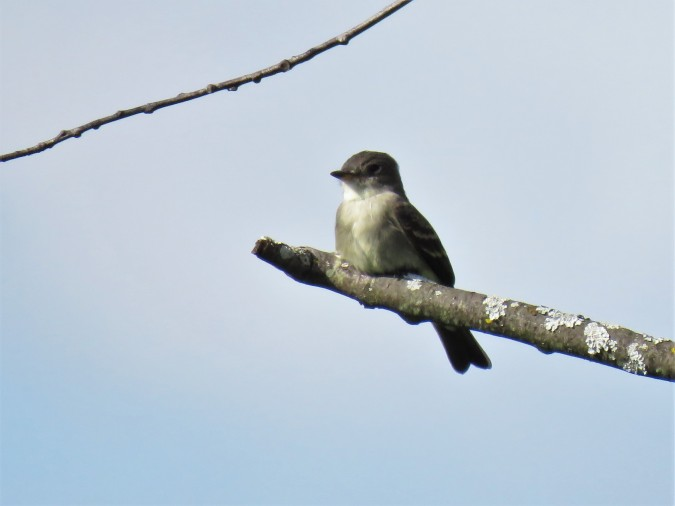 Eastern Wood Pewee at Almonte Lagoons Trail. photo Michel Gauthier