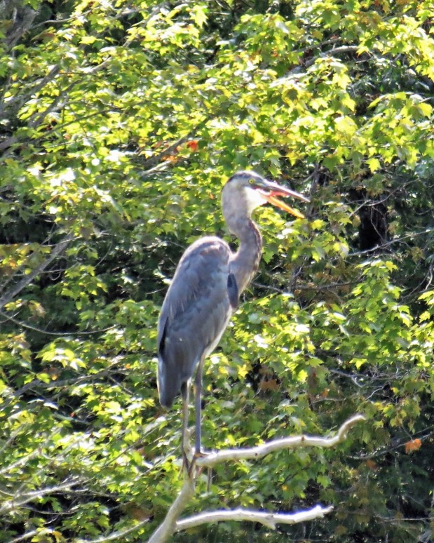 Great Blue Heron perches: August 26th on the banks of Mississippi River. photo Howard Robinson