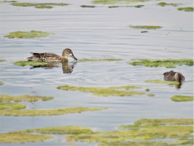 Blue-winged Teal. photo Michel Gauthier